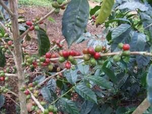 coffeadiversa-3-300x225